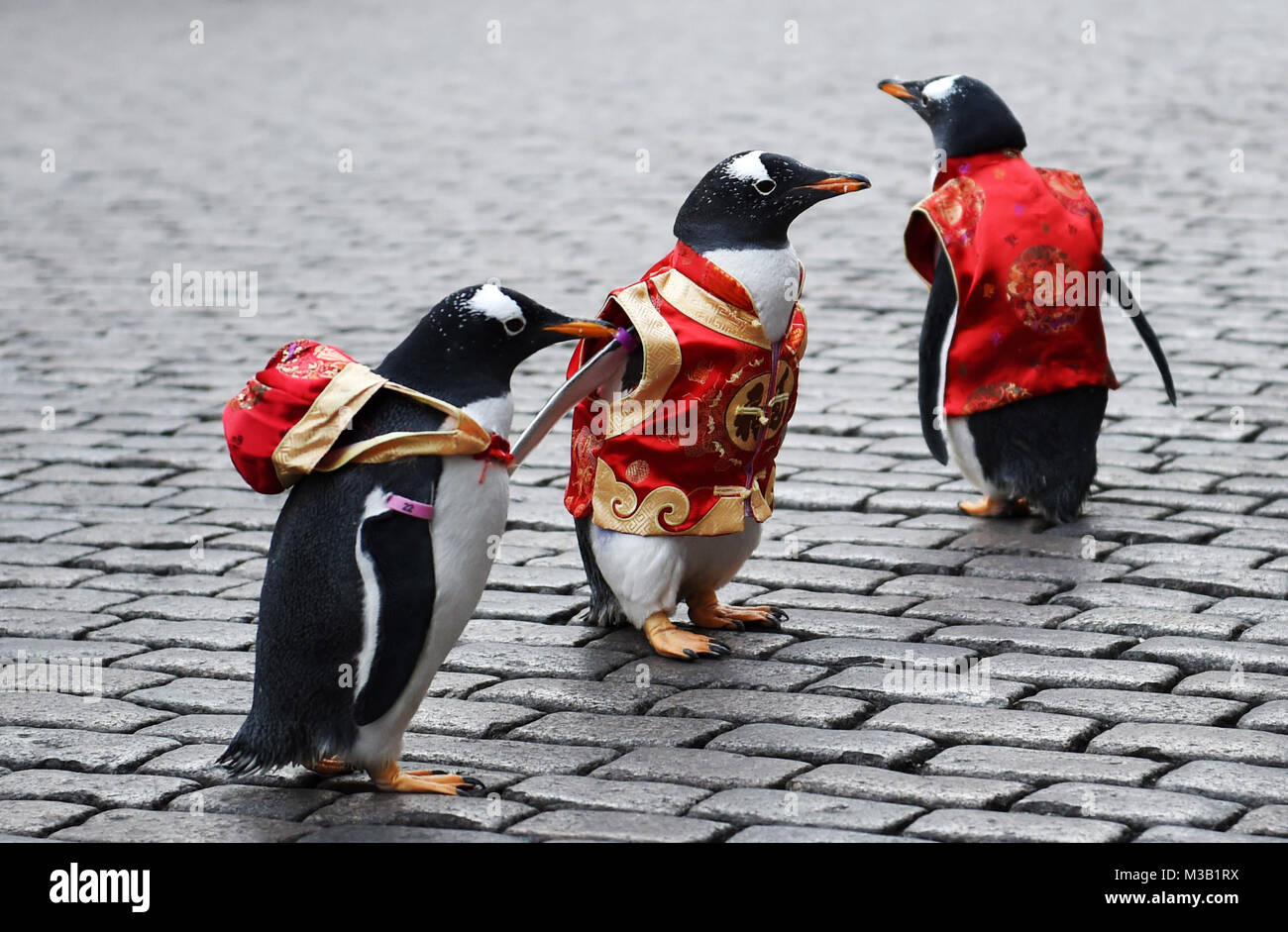 Harbin, China's Heilongjiang Province. 10th Feb, 2018. Penguins in Tang Suit from Harbin Polarland walk on the - Stock Image