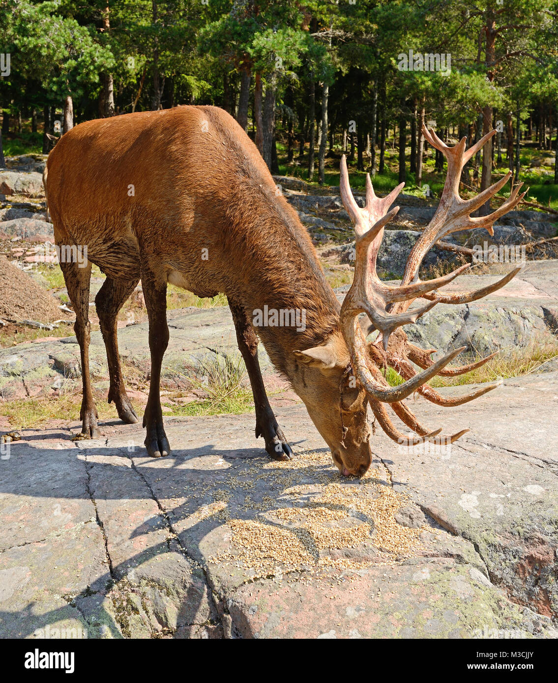 Apologise, mature male red deer can