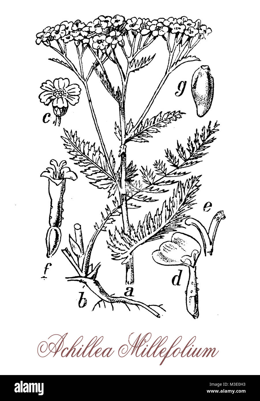 vintage engraving of achillea millefolium or yarrow , flowering plant used in landscaping and in traditional medicine - Stock Image