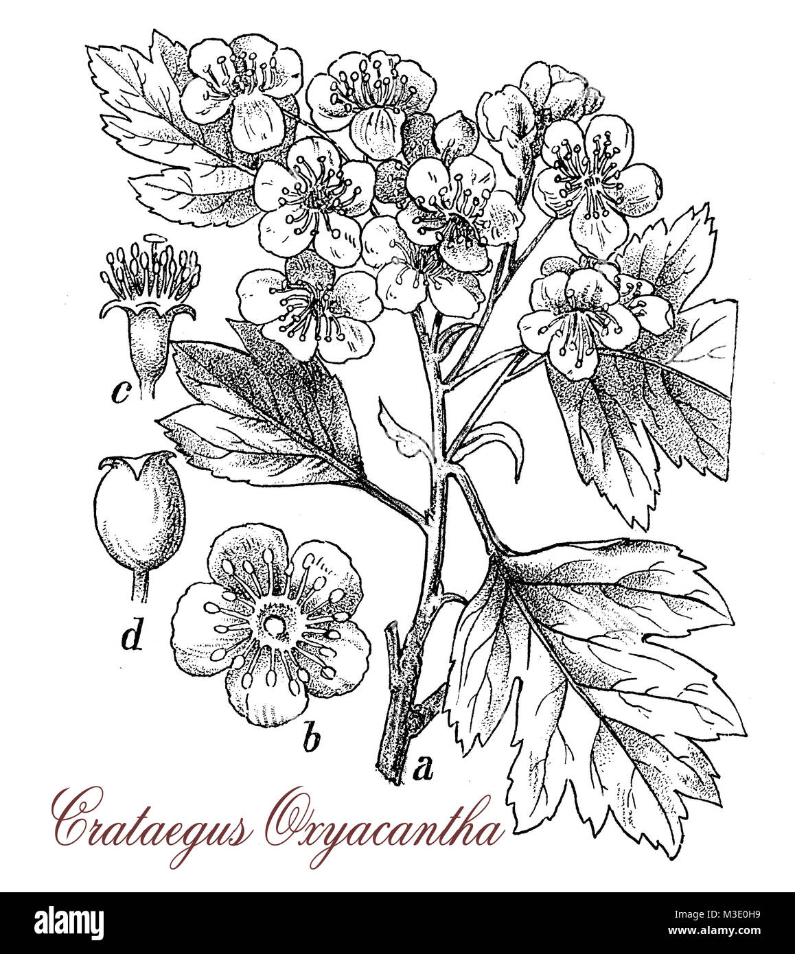 vintage engraving of crataegus oxyacantha, spiny shrup with red edible fruits, used as ornamental plant and  in - Stock Image