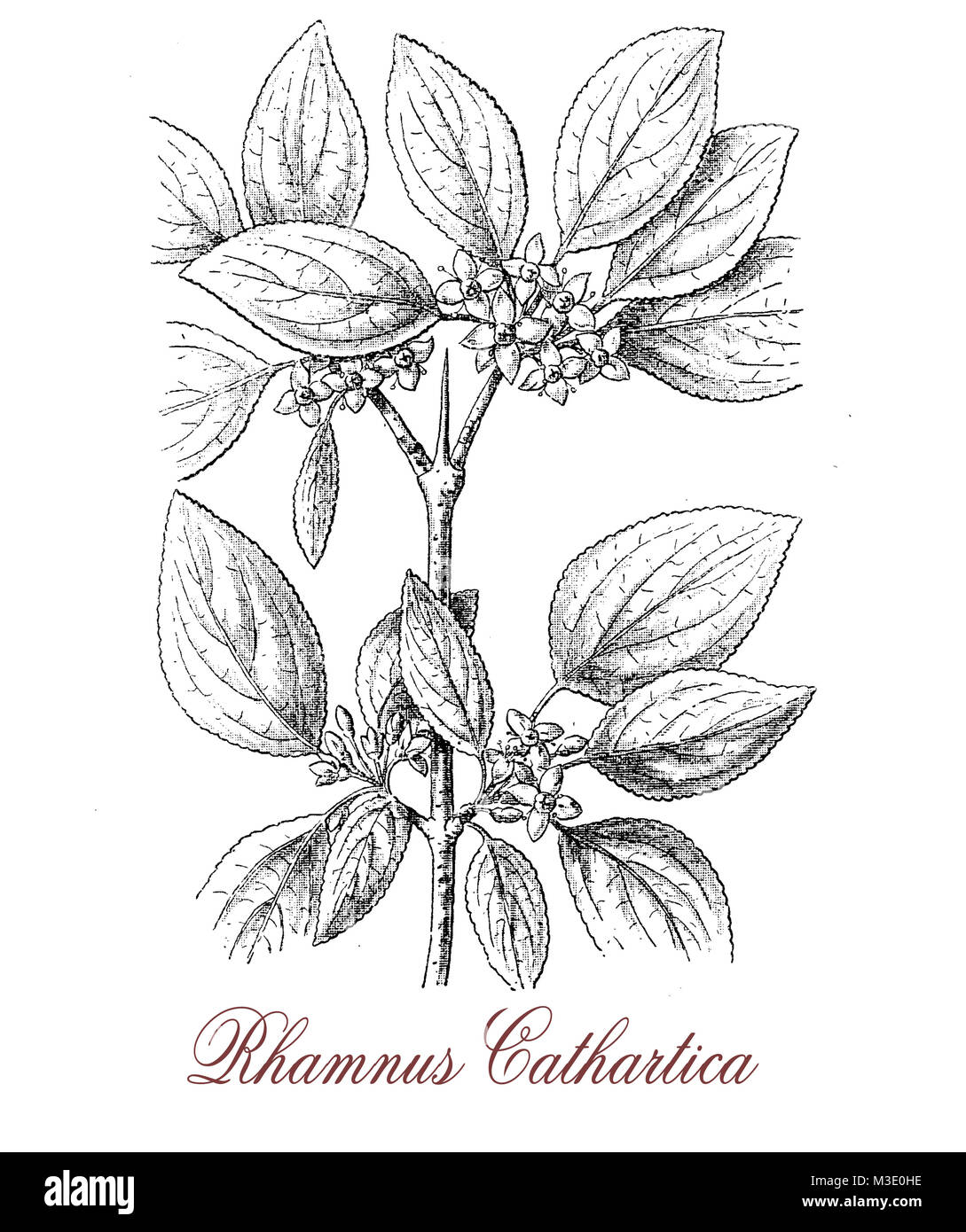 vintage engraving of common buckthorn or rhamnus cathartica, spiny shrub with black berries,  the plant is mildly - Stock Image
