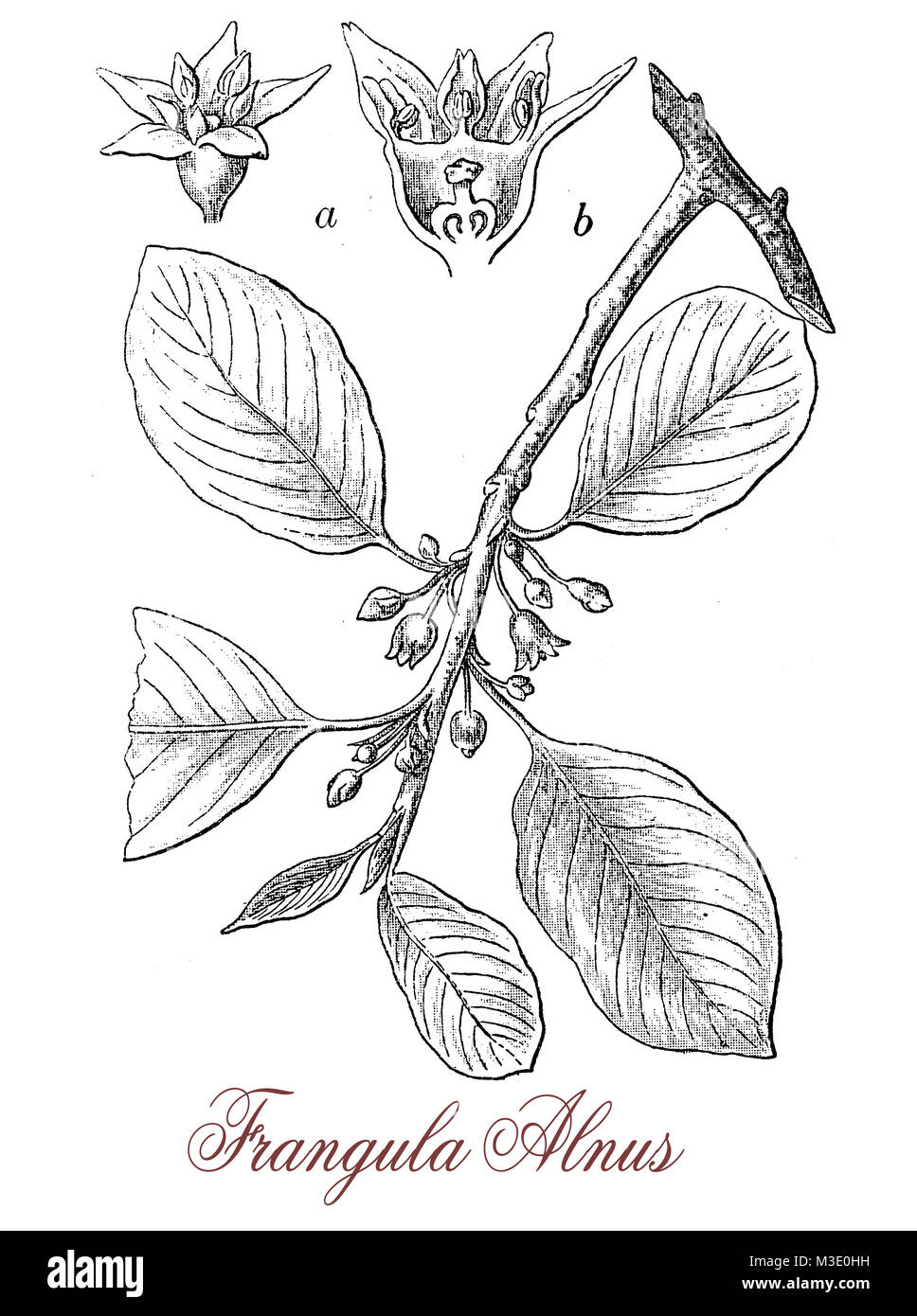 vintage engraving of frangula alnus or alder buckthorn, non-spiny shrub with small flowers and red berries ripening - Stock Image