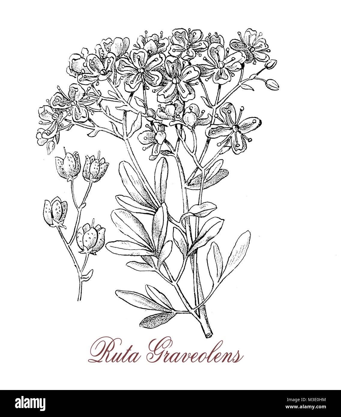 vintage engraving of ruta graveolens, medicinal herb from Balkan peninsula used in East Italy to flavor grappa. - Stock Image