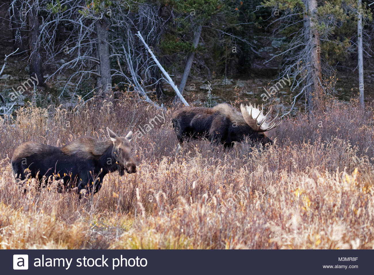 Bull Moose with cow moose in field - Stock Image