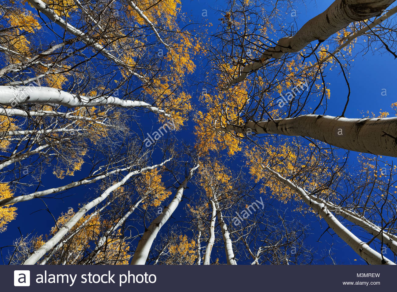 Aspen trees in Colorado - Stock Image
