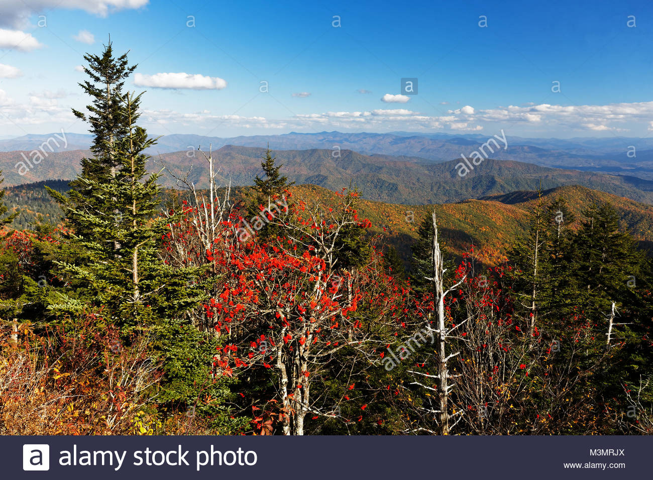 Mountain Ash berrys at sunset, with a early autumn background from Clinmans Dome, GSMNP - Stock Image