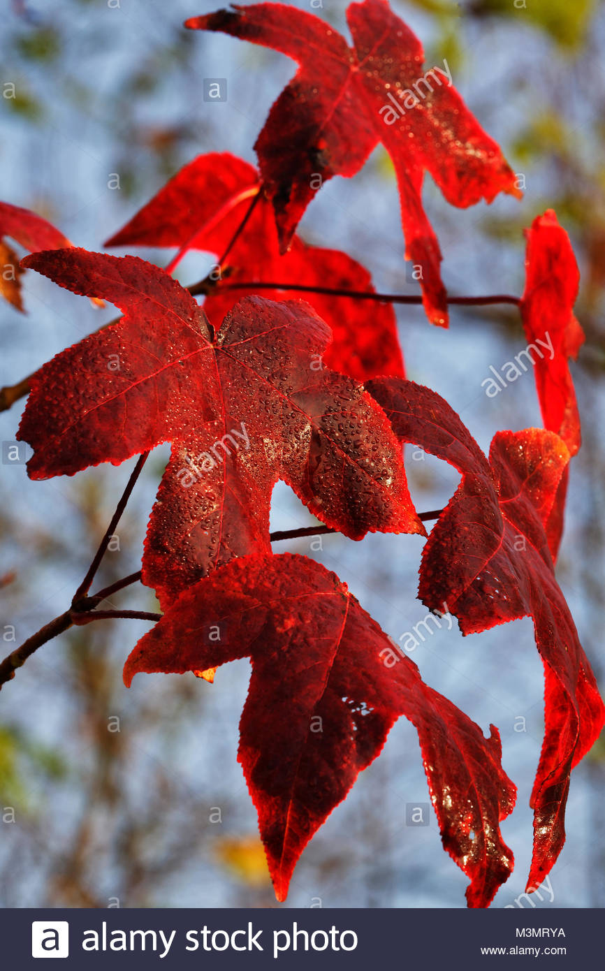 Sweet gum leaves in autumn - Stock Image