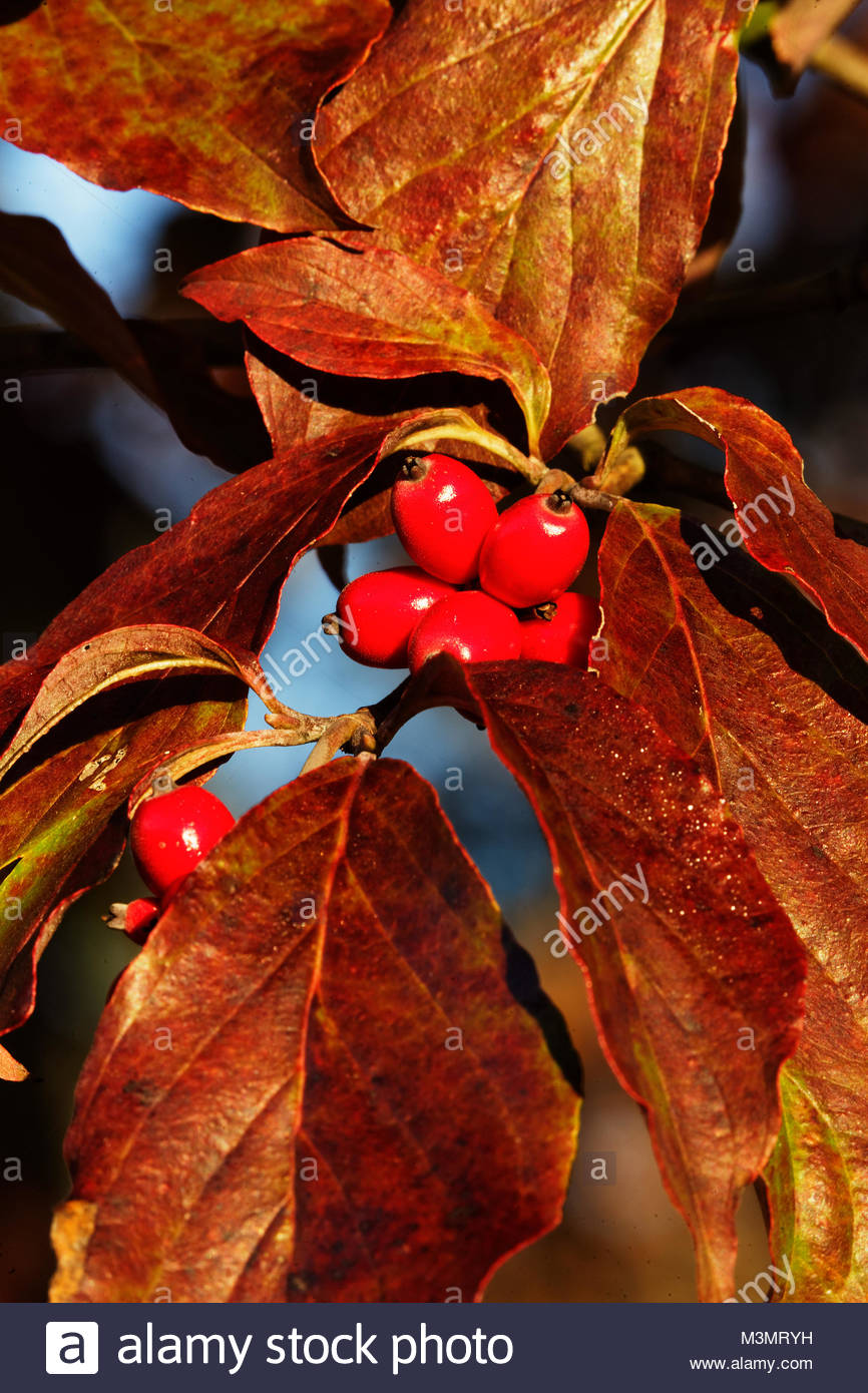 Dogwood tree and berrys in autumn - Stock Image