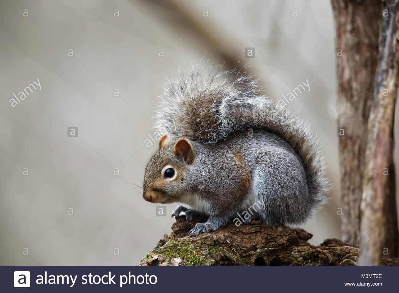 Gray Squirrel (Sciurus carolinensis) - Stock Image