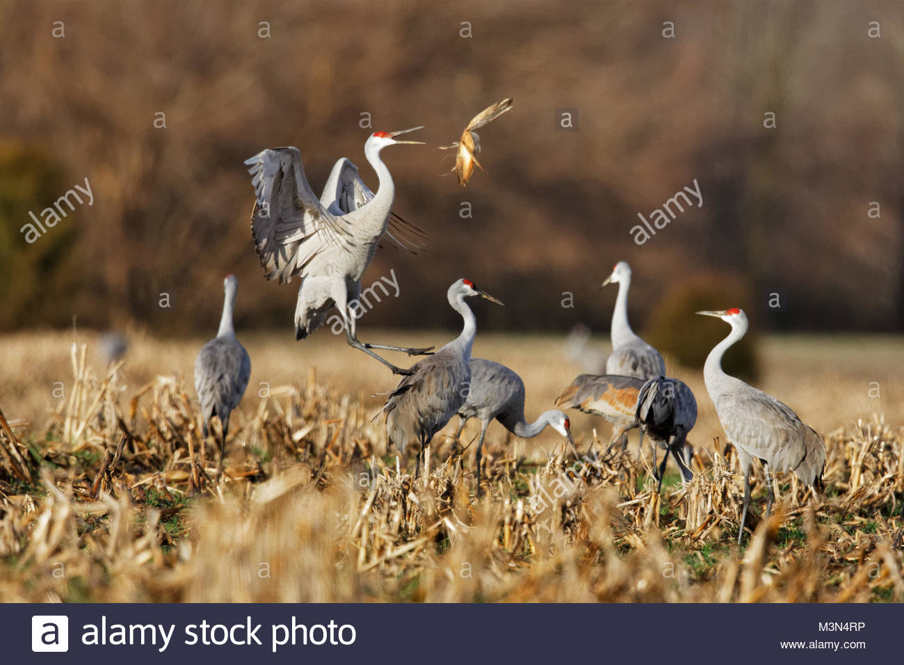 Sandhill Cranes, one jumping and throughing corn shucks into air. - Stock Image