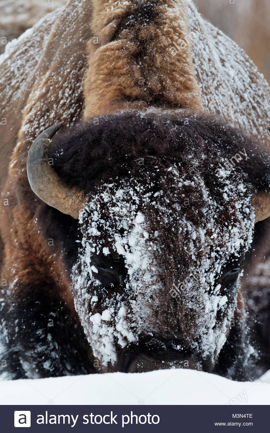 Bison (Bison bison) Buffalo in winter Yellowstone N.P. - Stock Image