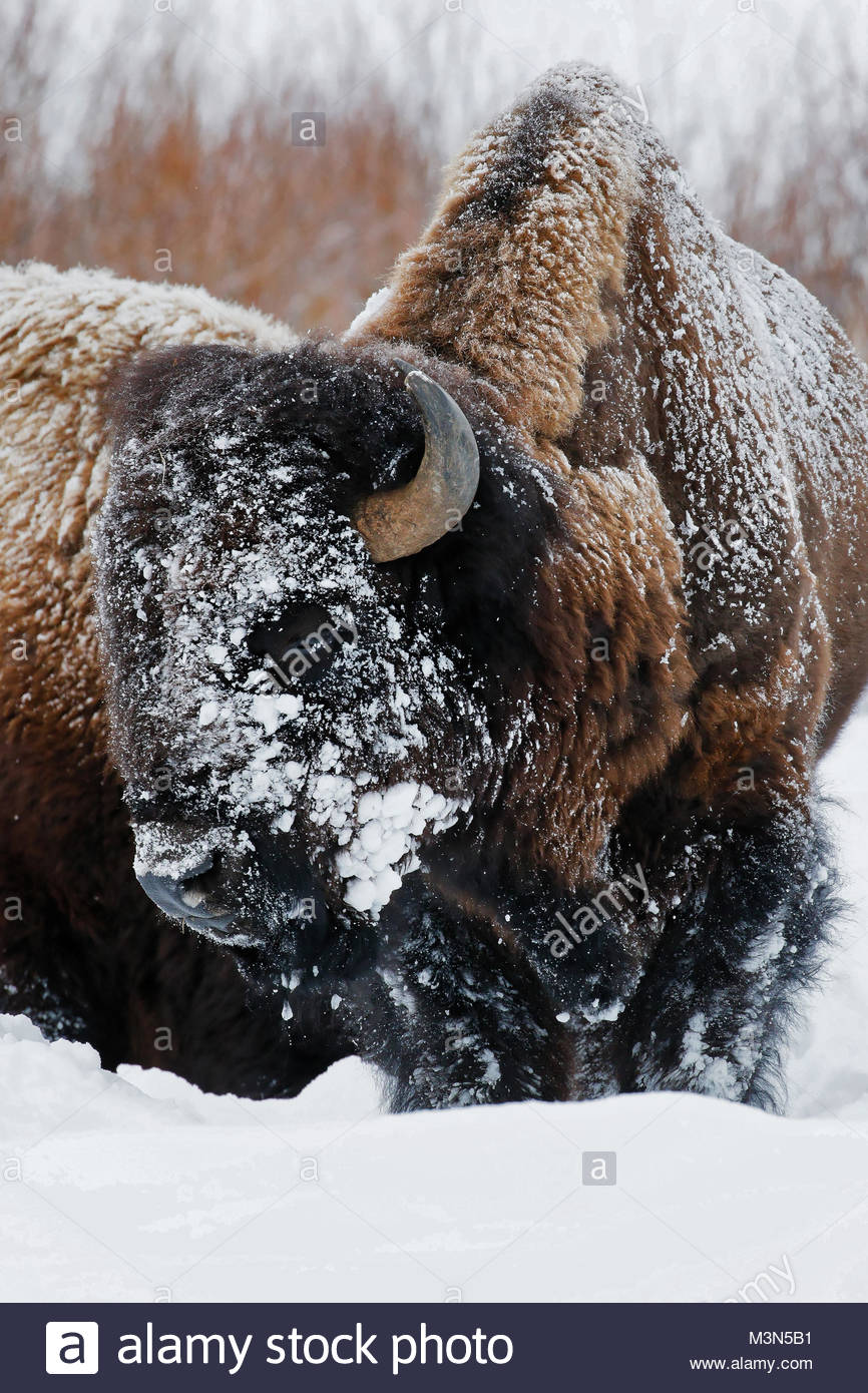 Bison (Bison bison) Buffalo with snow on faces - Stock Image