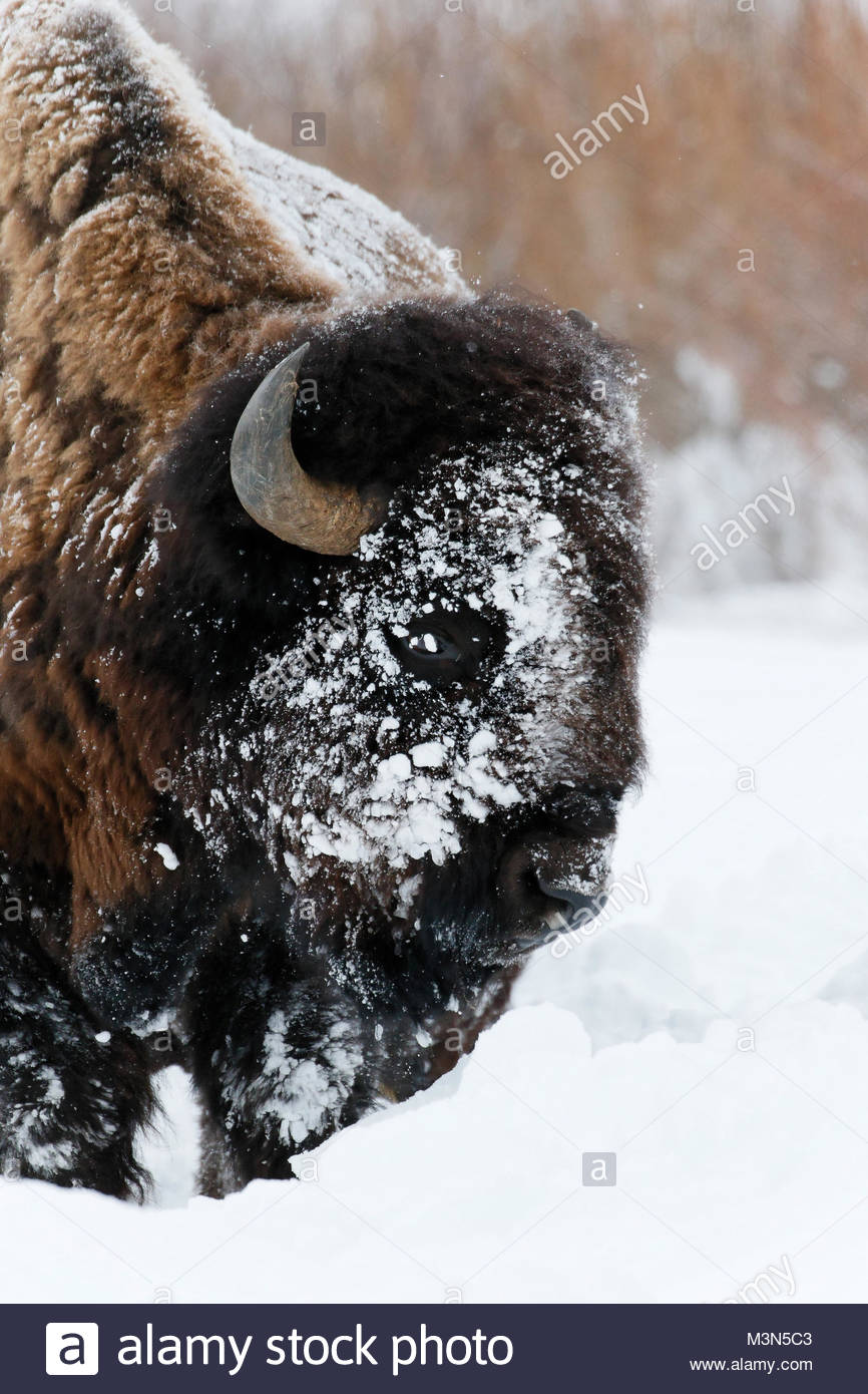 Bison or Buffalo (Bison bison) Running in the snow and playing - Stock Image