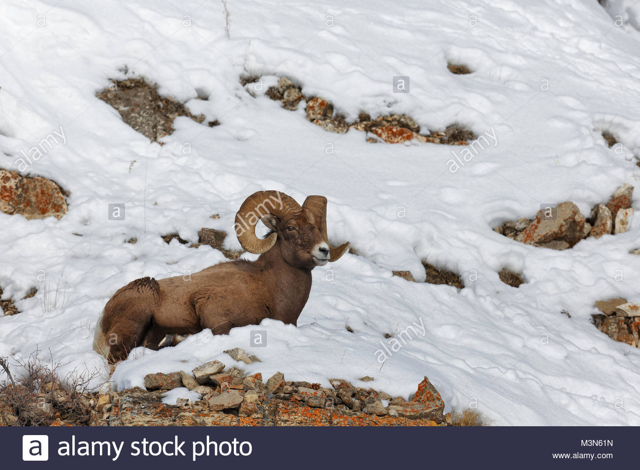Bighorn sheep (Ovis canadensis) Ram laying in snow - Stock Image
