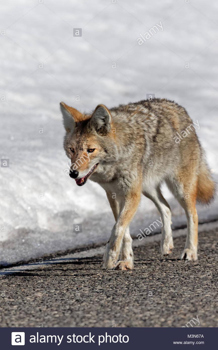 Coyote Walking along roadway. - Stock Image