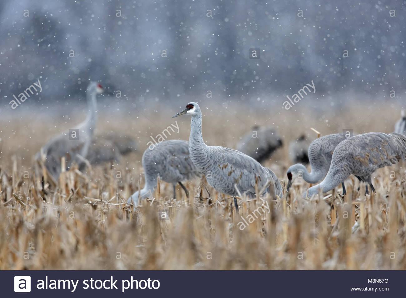 Sandhill Cranes in snow storm - Stock Image