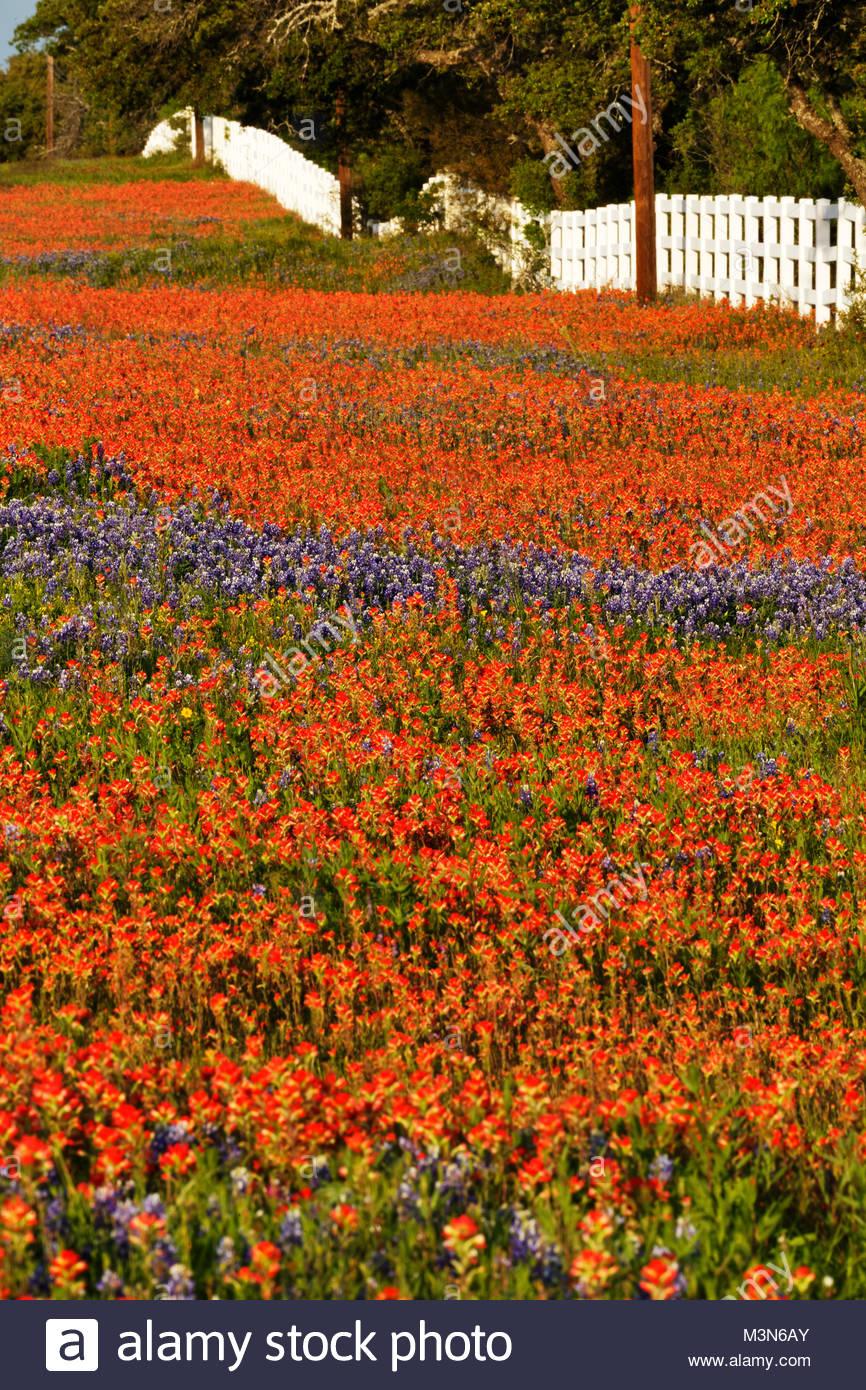 Texas wildflowers along county road 29, Llano Texas - Stock Image