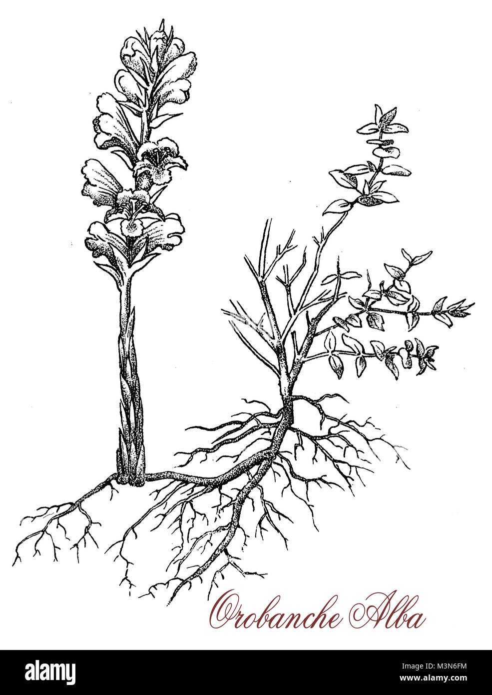 vintage engraving of orobanche alba or Thyme broomrape, parasitic plant with stems completely lacking chlorophyll, - Stock Image