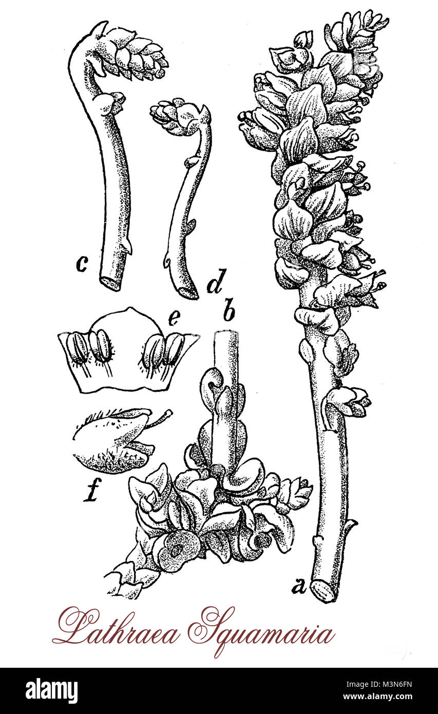 vintage engraving of  lathraea squamaria or common toothwort, parasitic plant with scales instead of leaves and - Stock Image