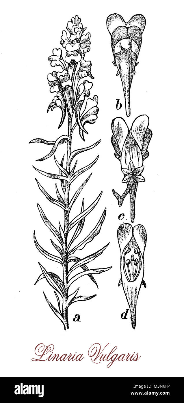 vintage engraving of  linaria vulgaris or common toadflax, flowering plant with yellow and orange flowers used in - Stock Image