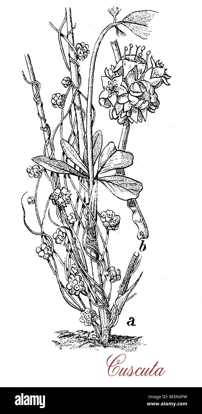 vintage engraving of cuscuta or dodder, parasitic leaveless  plant with red, orange or yellow vines, it wraps itself - Stock Image