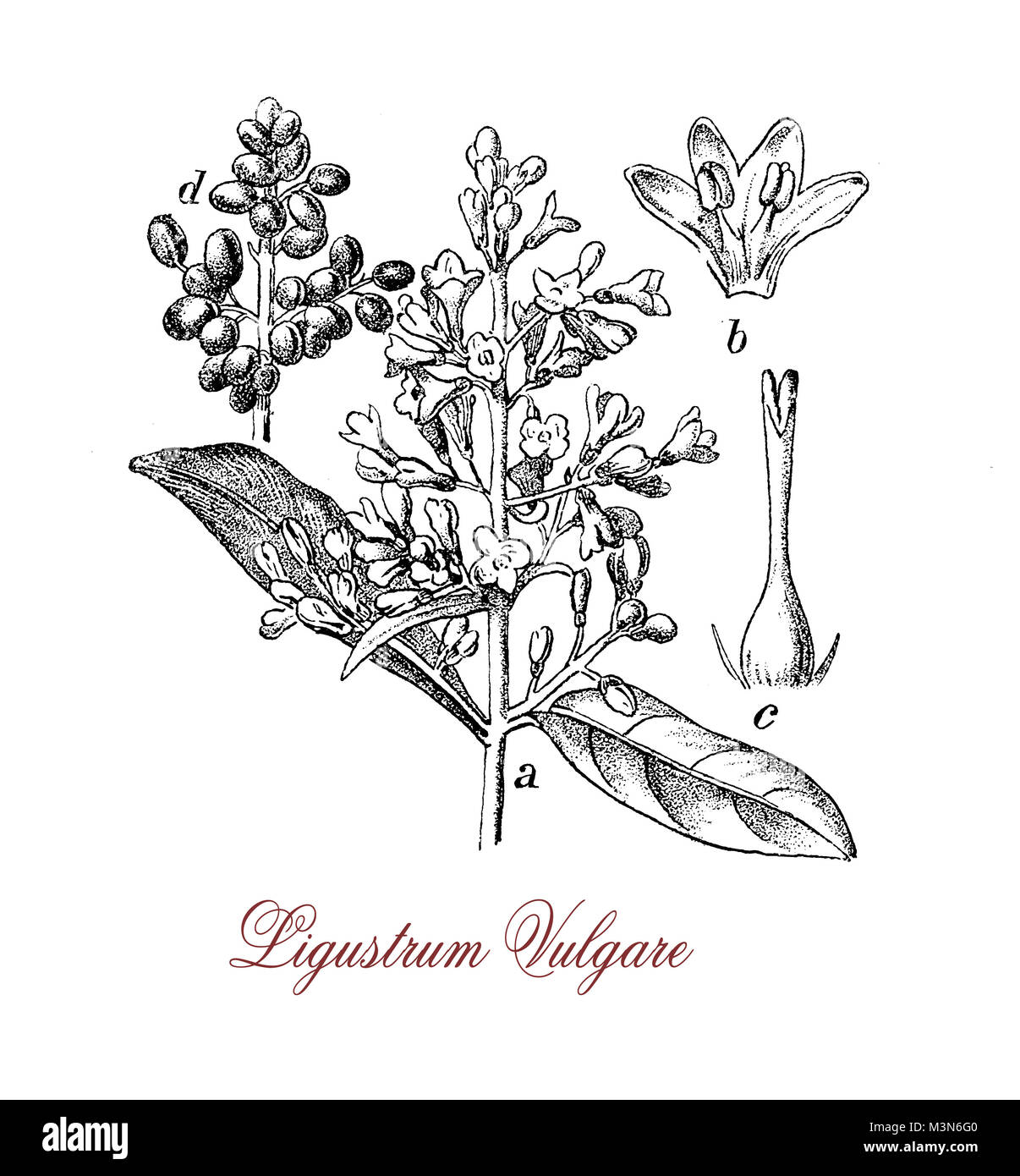 vintage engraving of ligustrum vulgare or wild privet, shrub with white creamy flowers and poisonous black berries, - Stock Image