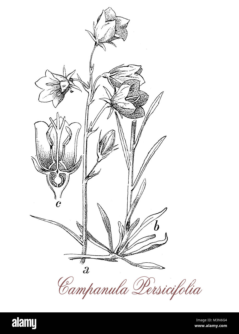 vintage engraving of campanula persicifolia or peach-leaved bellflower, flowering plant common in the Alps, with - Stock Image