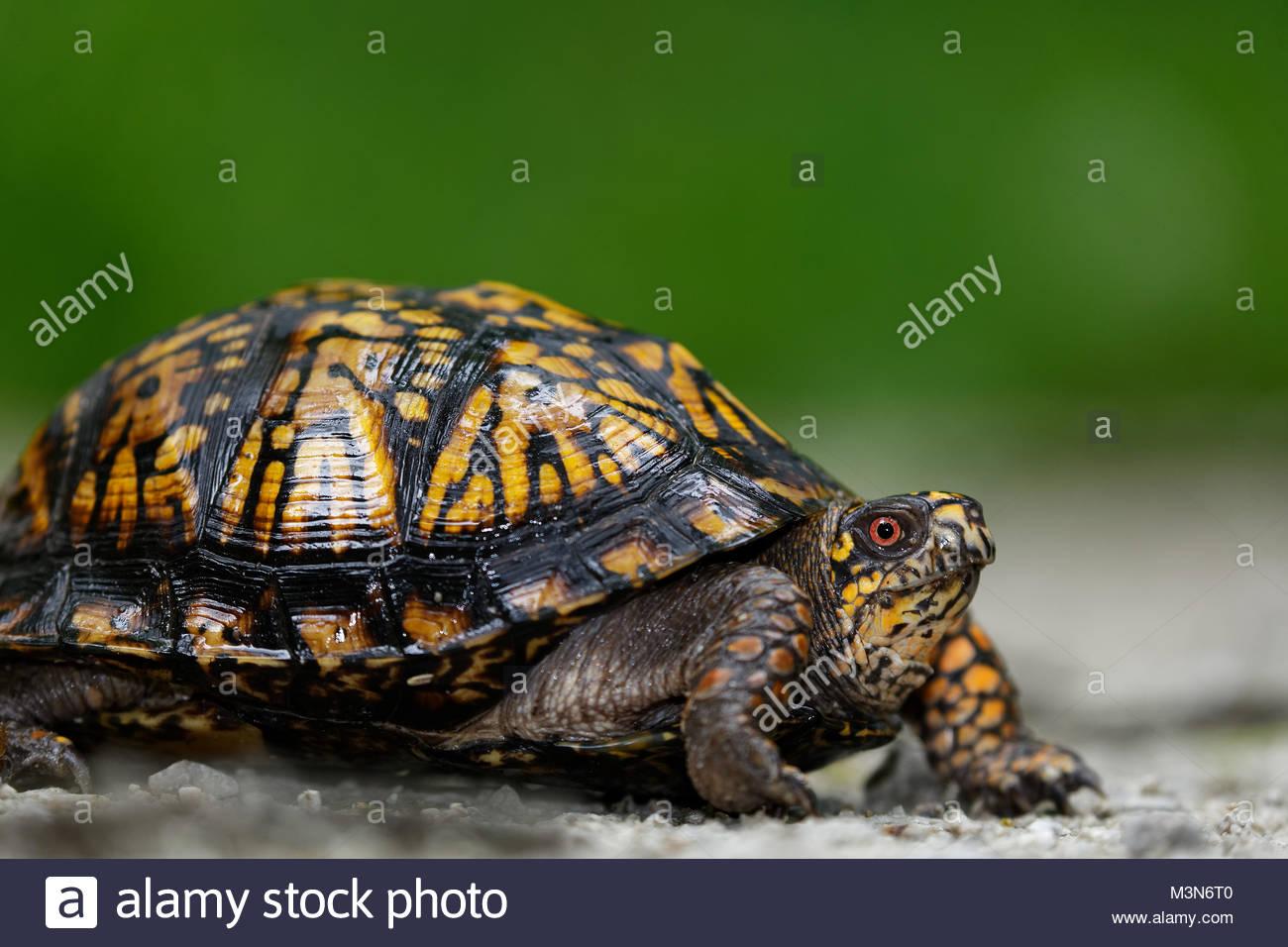 Eastern Box Turtle (Terrapene carolina) - Stock Image