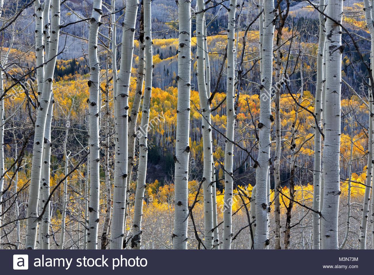 Aspen Trees, from Kebler Pass, Colorado - Stock Image