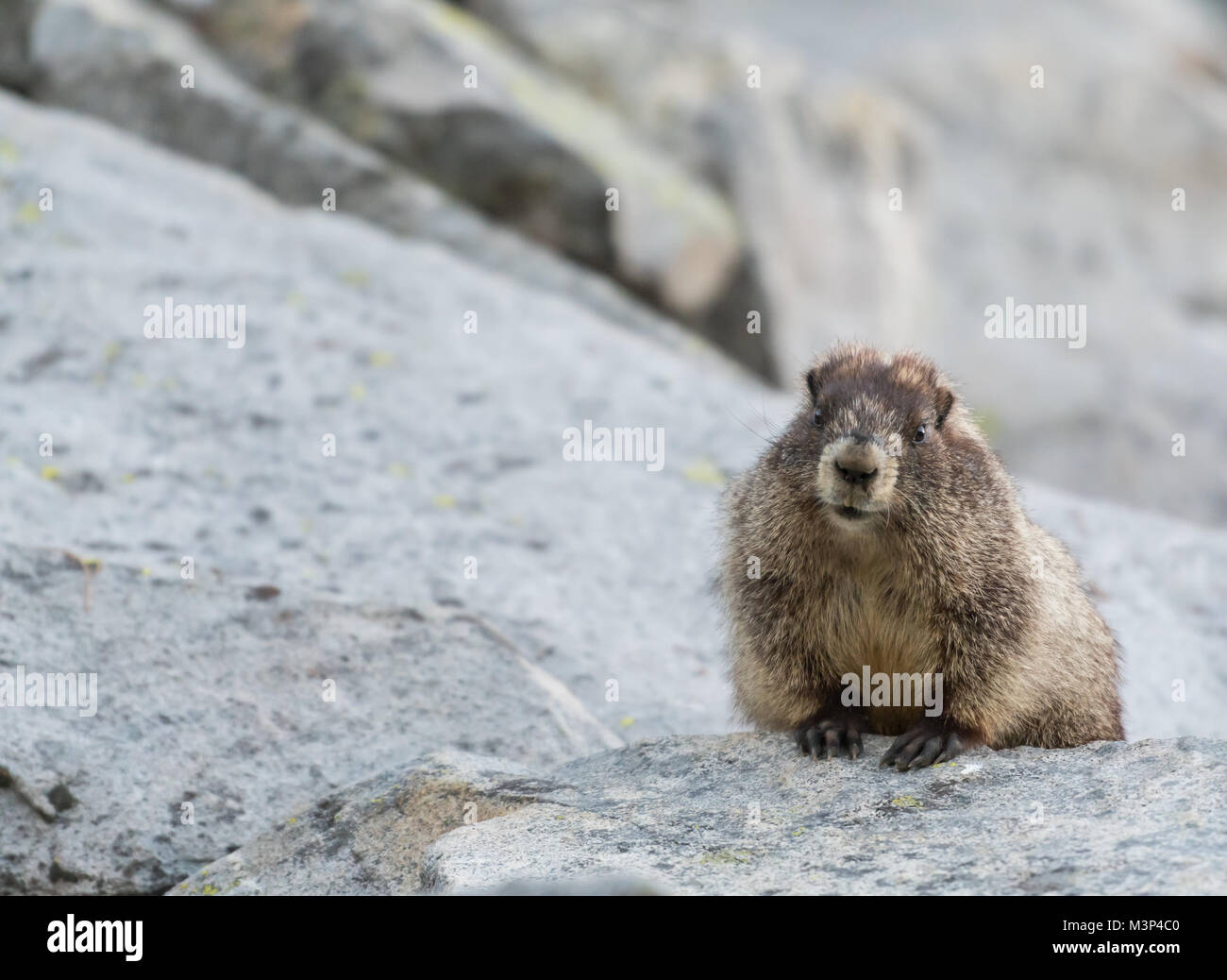Chubby Marmot Peeks Over Rock with copy space to left - Stock Image
