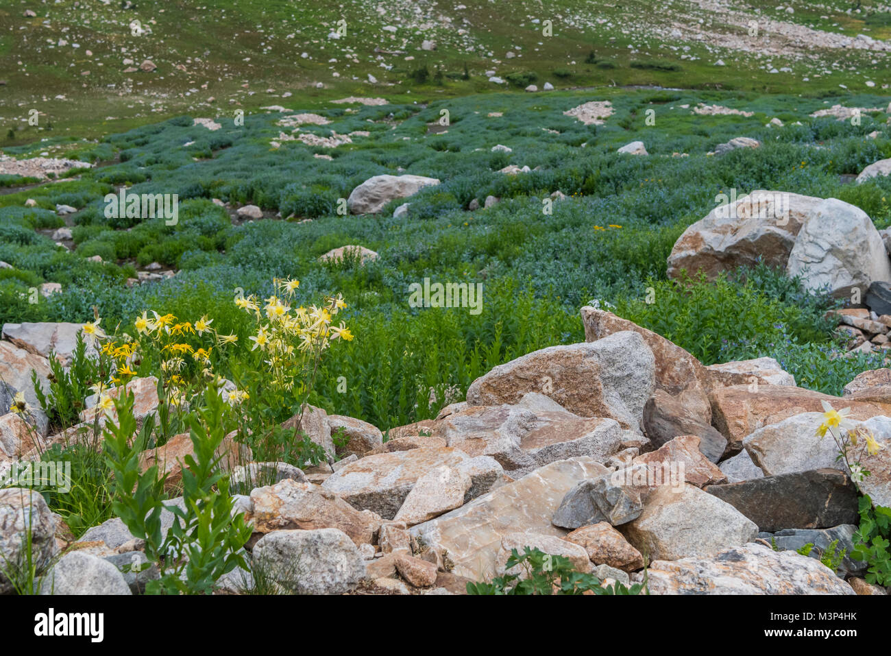 Columbine and Mertensia Wildflowers Bloom in Cascade Canyon - Stock Image