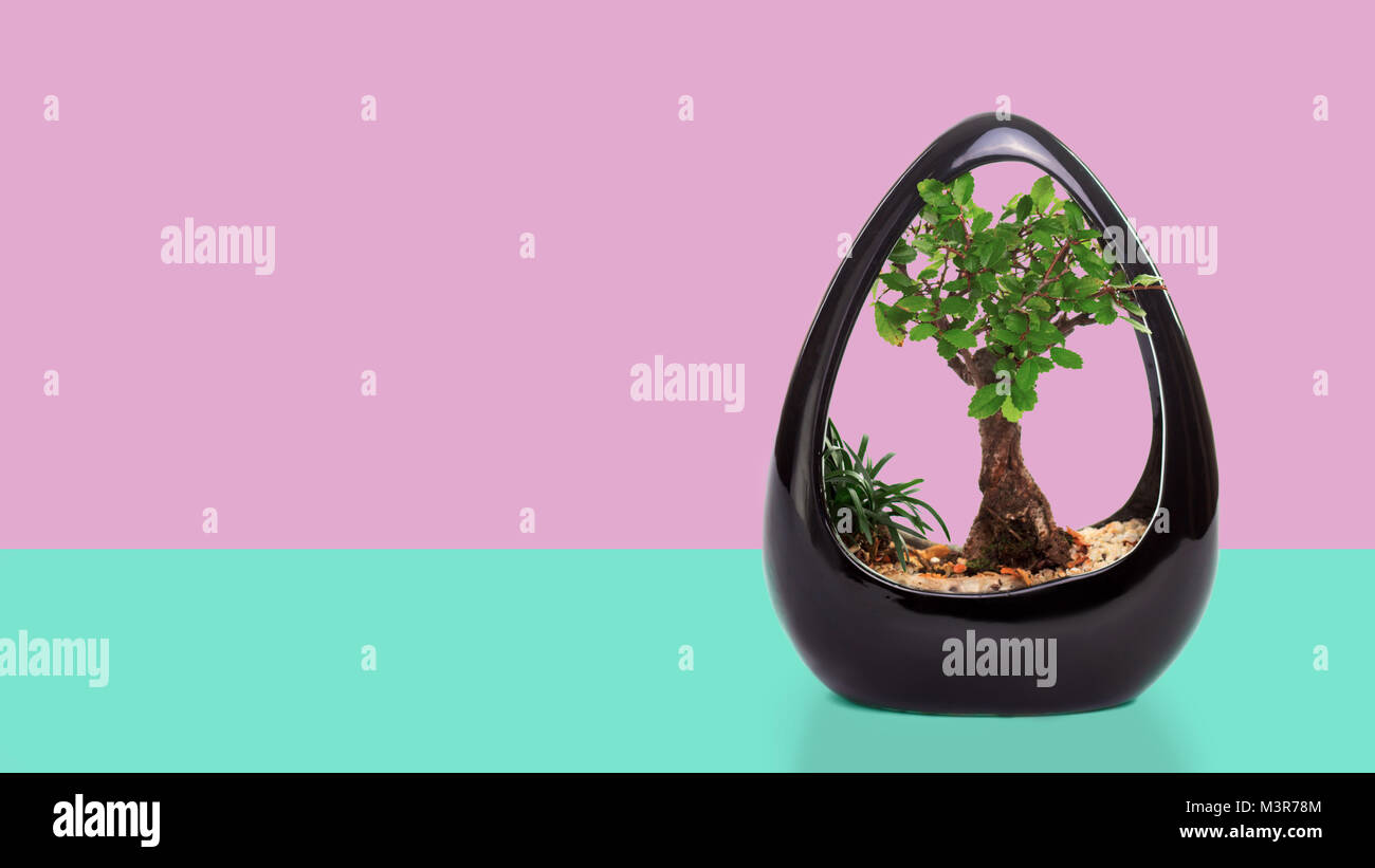 Wiring A Ficus Bonsai Not Lossing Diagram Tree Pot Stock Photos Images Alamy Ginseng