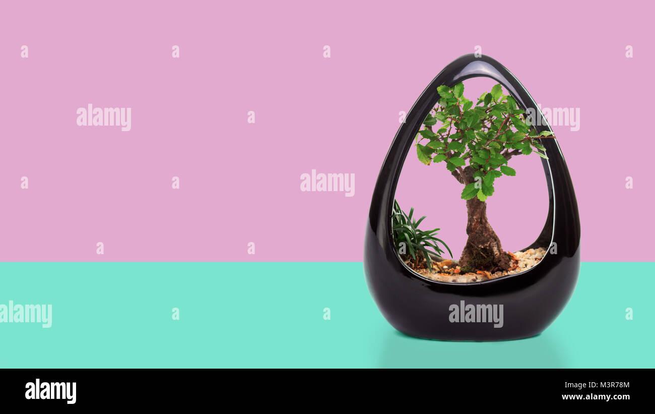 Wiring A Ficus Bonsai Not Lossing Diagram Wisteria Pot Stock Photos Images Alamy Religiosa