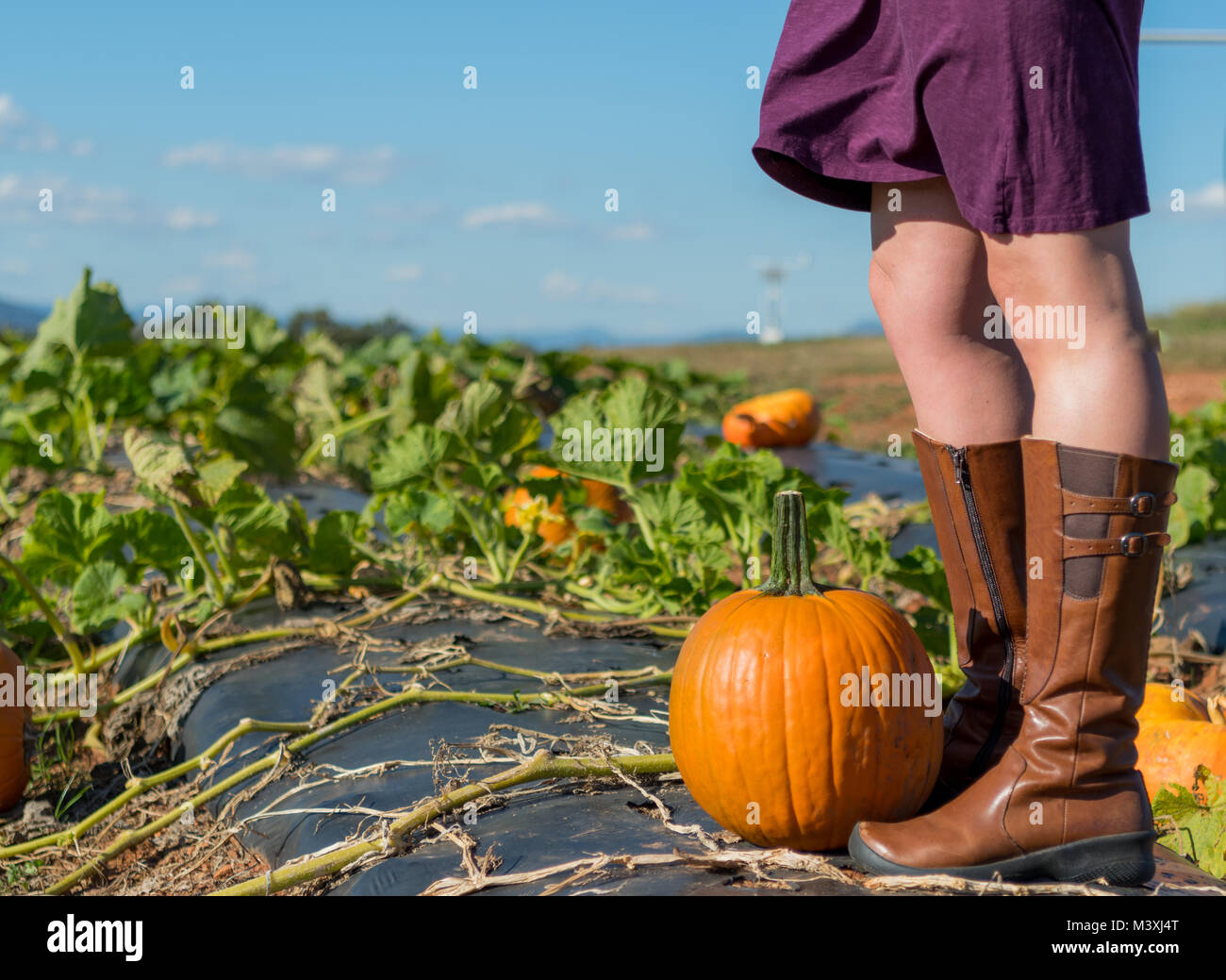 Exploring a Pumpkin Patch  on a Sunny Fall Day - Stock Image