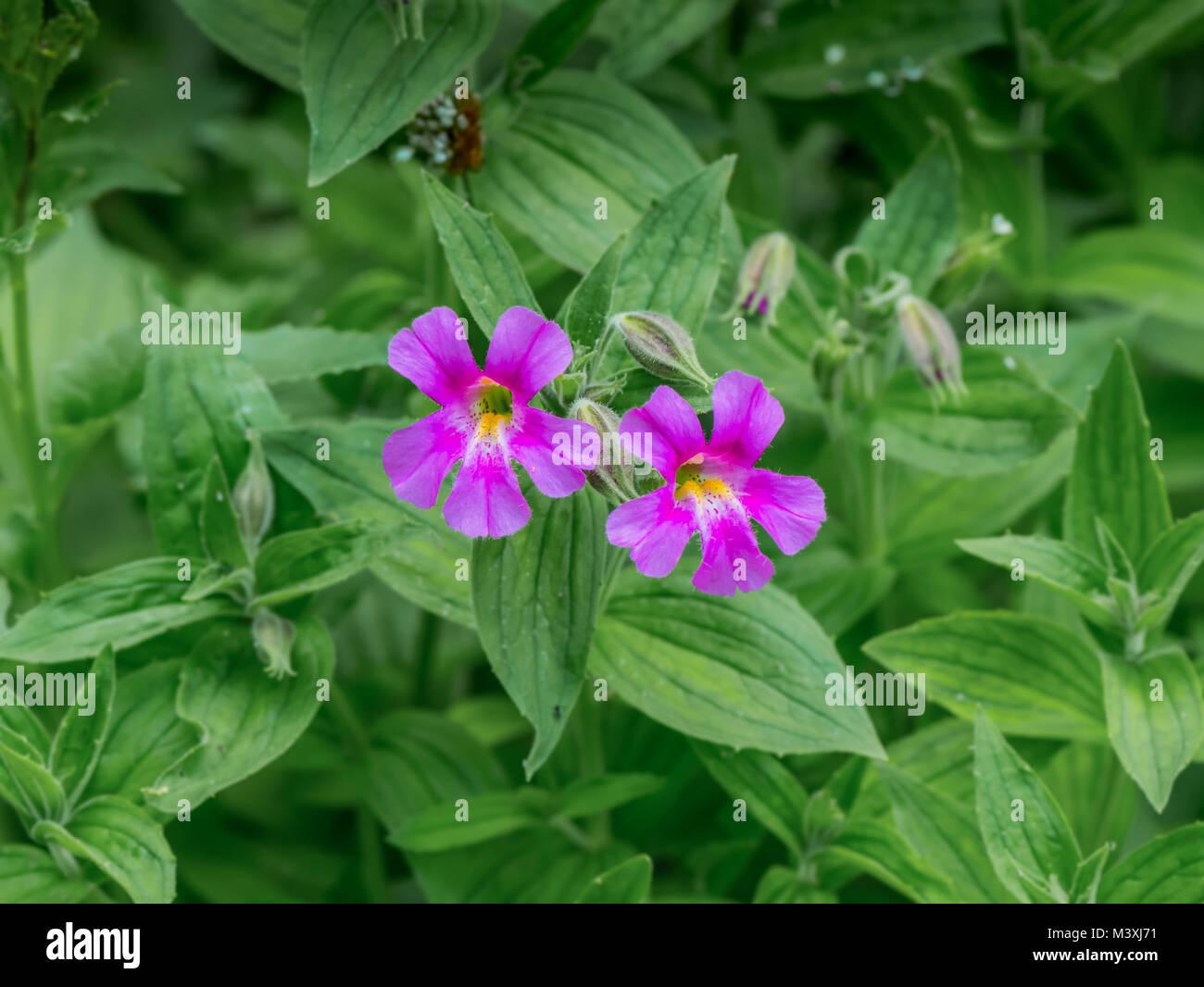 Lewis Monkeyflower Blooms in Alpine Meadow in early summer - Stock Image