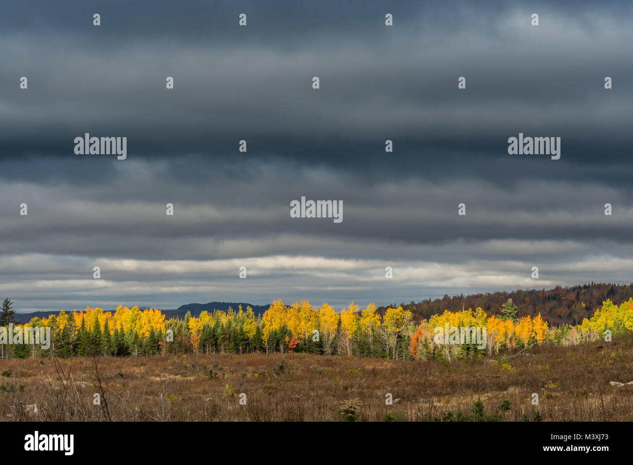 Line of Yellow Birch Trees Under Gray Sky in Maine wilderness - Stock Image