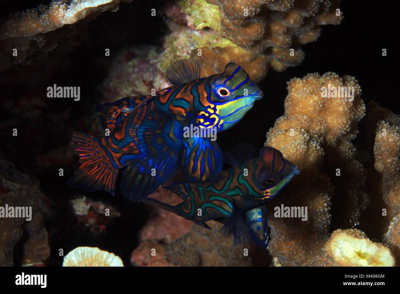 Mandarinfish Couple (aka Mandarin Dragonet, Synchiropus splendidus), about to Mate. Moalboal, Philippines - Stock Image