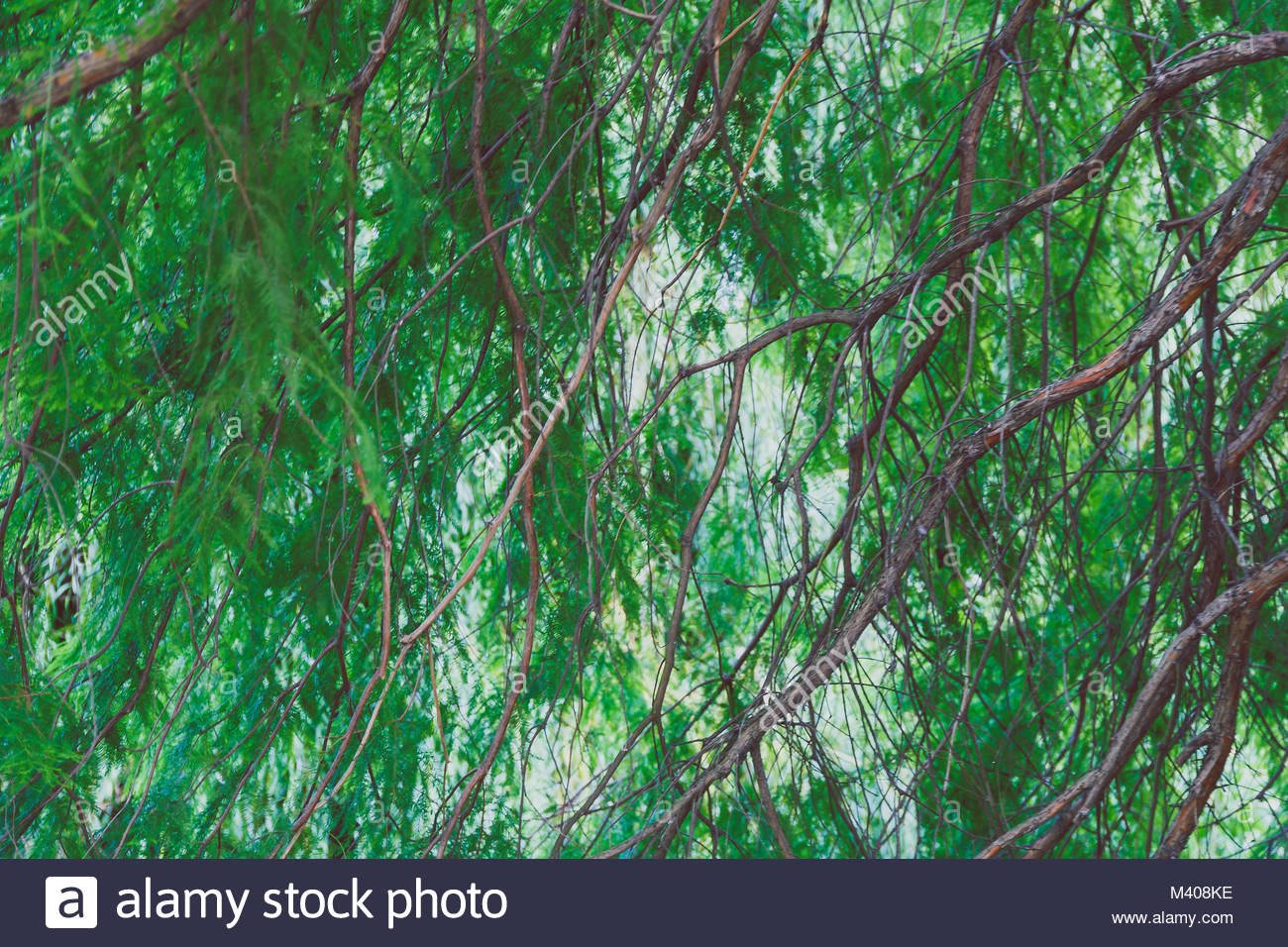 green branches with lushy leaves shot in Green Park London - Stock Image
