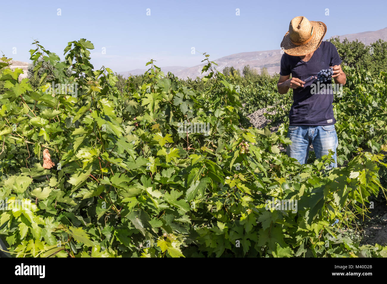 Unidentified man cuts bunch of grapes in vineyard.Uzumlu,Erzincan,Turkey.07 September 2014 - Stock Image