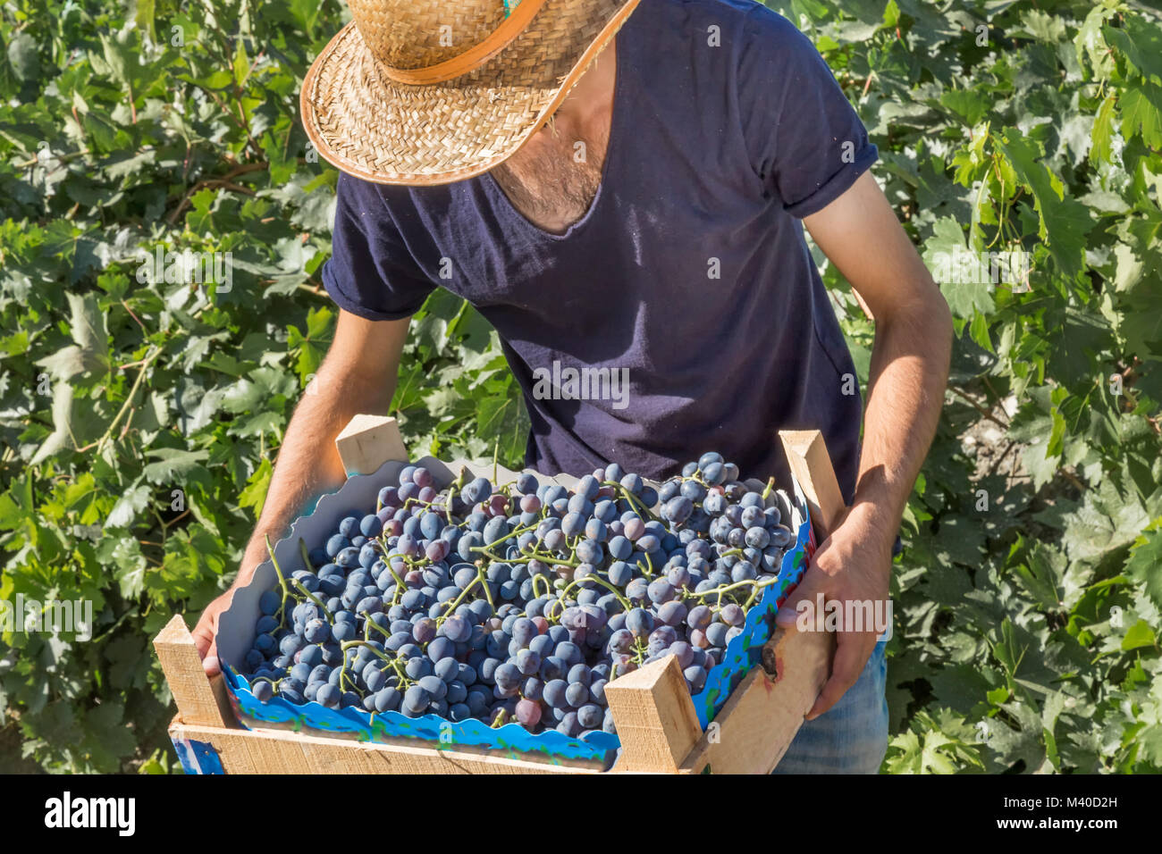 Unidentified man holds crate of grapes at harvesting in the vineyard. - Stock Image