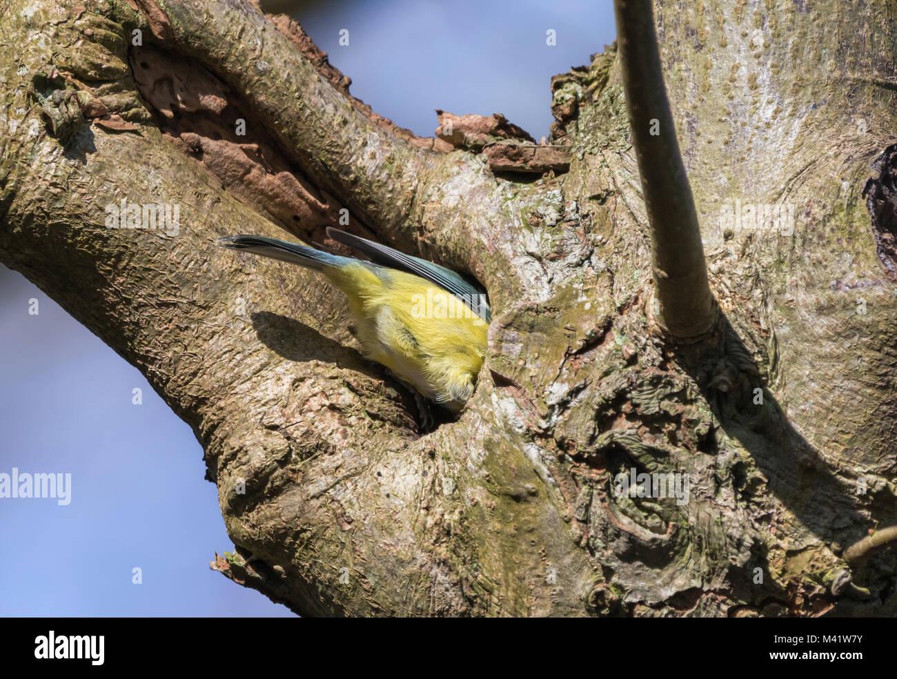 eurasian-blue-tit-bird-cyanistes-caeruleus-looking-for-food-in-a-tree-M41W7Y.jpg