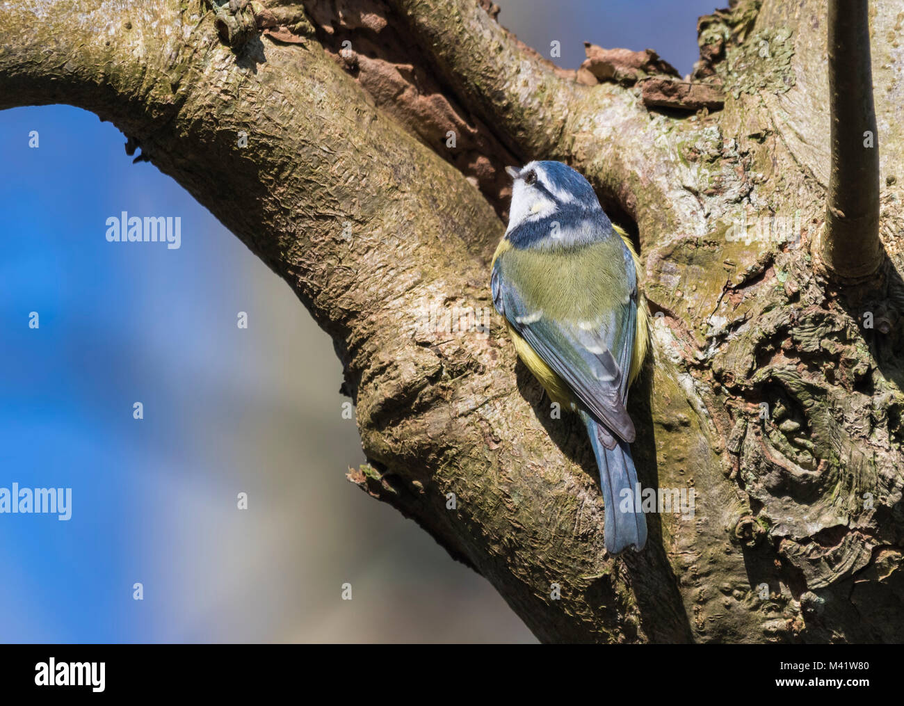 eurasian-blue-tit-bird-cyanistes-caeruleus-perched-on-a-tree-in-winter-M41W80.jpg