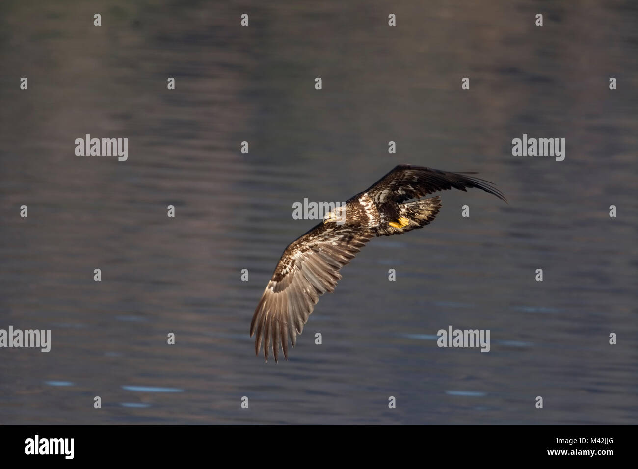 Bald Eagle Juvenile Immature in Flight - Stock Image