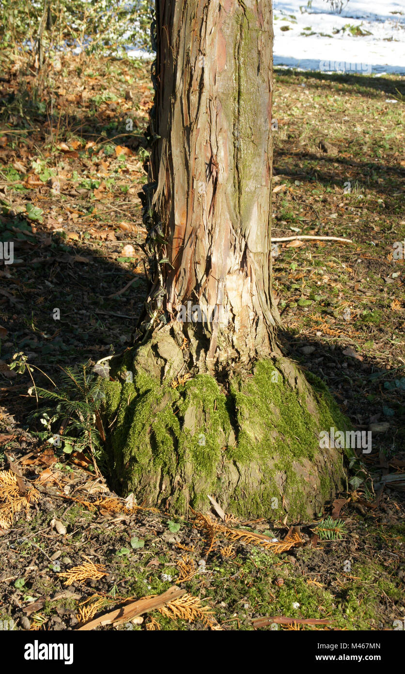 Chamaecyparis obtusa, Japanese Cypress, grafting - Stock Image