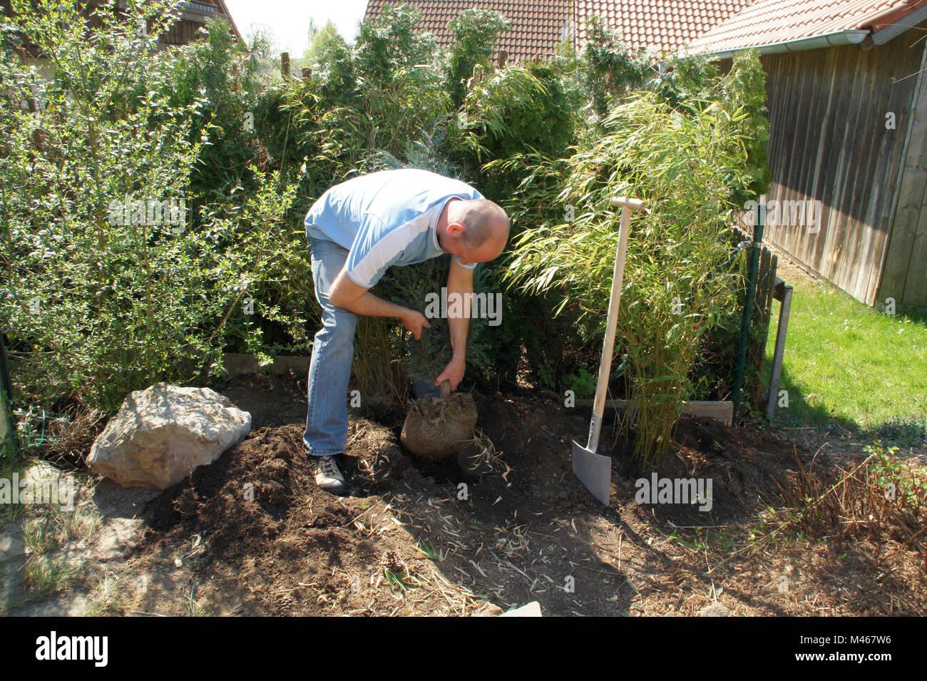 Chamaecyparis lawsoniana, planting lawsons cypress - Stock Image