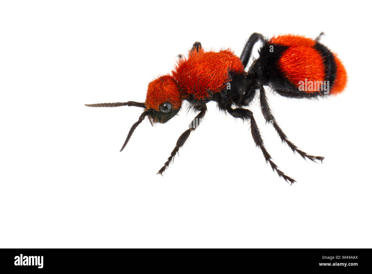 Cow killer velvet ant (Dasymutilla occidentalis) on white background, Tuscaloosa County, Alabama, USA September - Stock Image