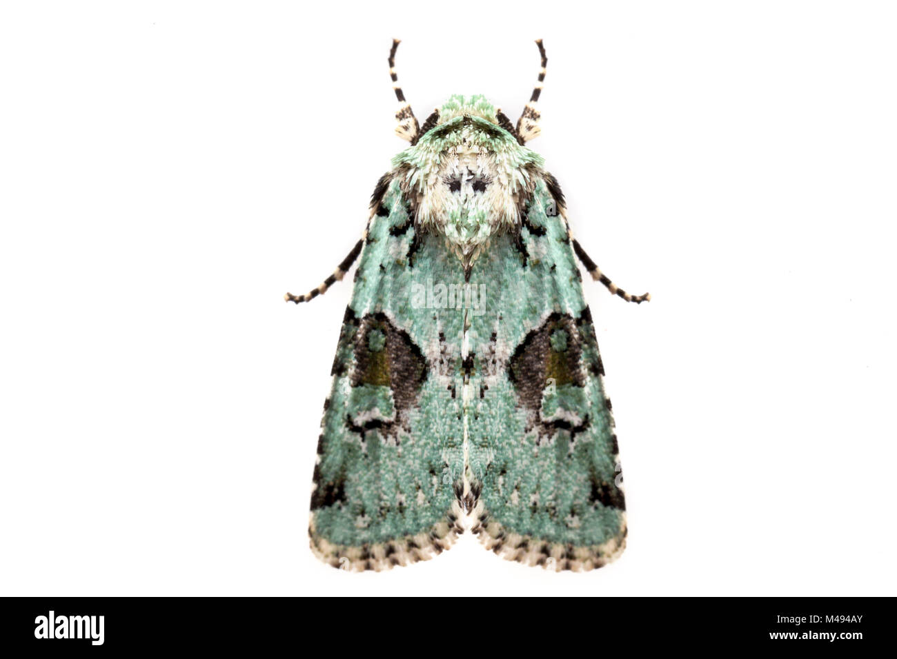 Implicit arches moth (Lacinipolia implicata) on white background, Tuscaloosa County, Alabama, USA October - Stock Image