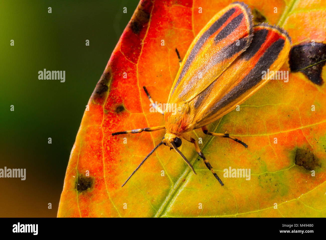 Painted lichen moth (Hypoprepia fucosa) on autumn leaf, Tuscaloosa County, Alabama, USA September - Stock Image