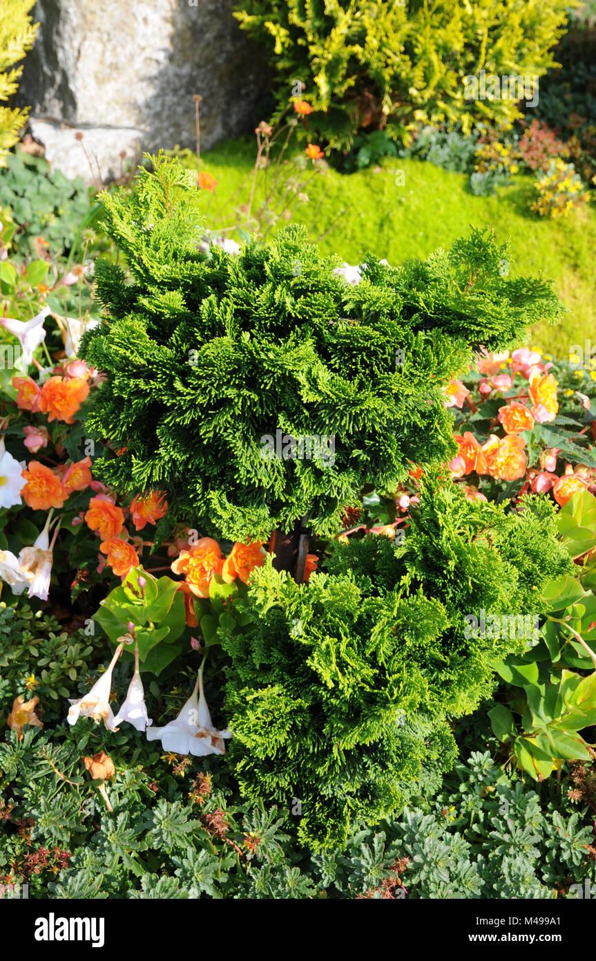 Chamaecyparis obtusa Nana Gracilis, Shell-cypress - Stock Image