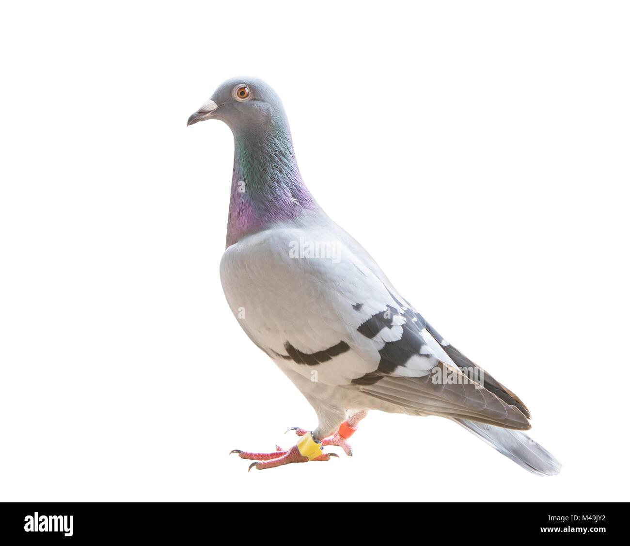 Pigeon Racing Pigeon Bird Plumage Stock Photos Amp Pigeon